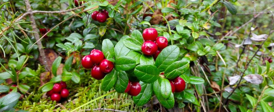 Lingonberry pentru inflamarea articulațiilor, Gout tratament de iod de casa - Astm July